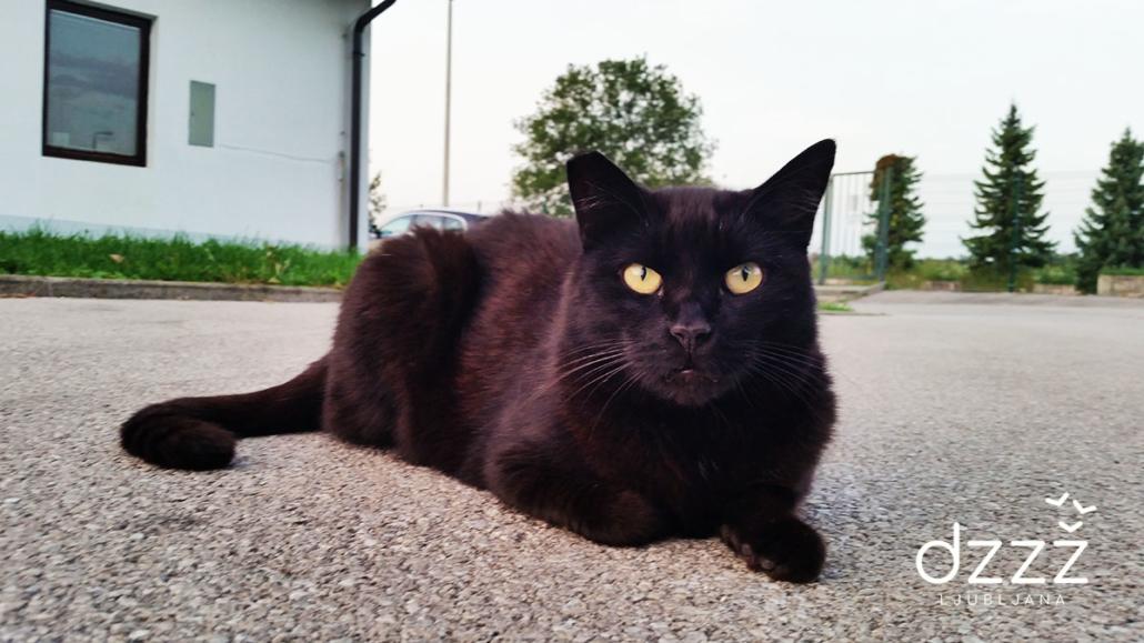 prostoživeča mačka